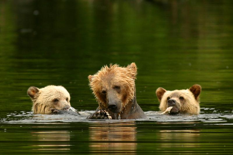 Knights Inlet Lodge Bears Gallery 1 4