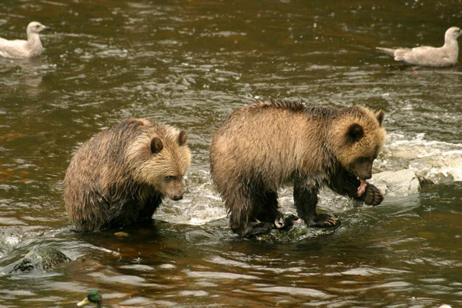 Knights Inlet Lodge Bears Gallery 1 41